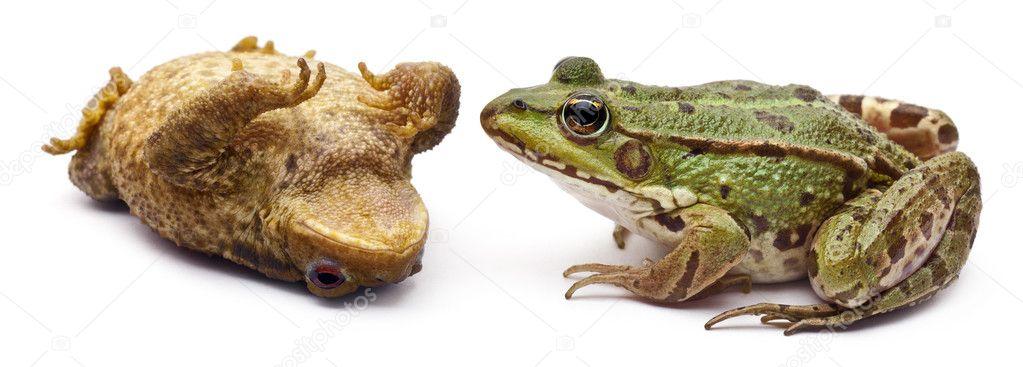 europ ische grasfrosch oder essbare frosch rana kl esculenta mit blick auf eine erdkr te oder. Black Bedroom Furniture Sets. Home Design Ideas