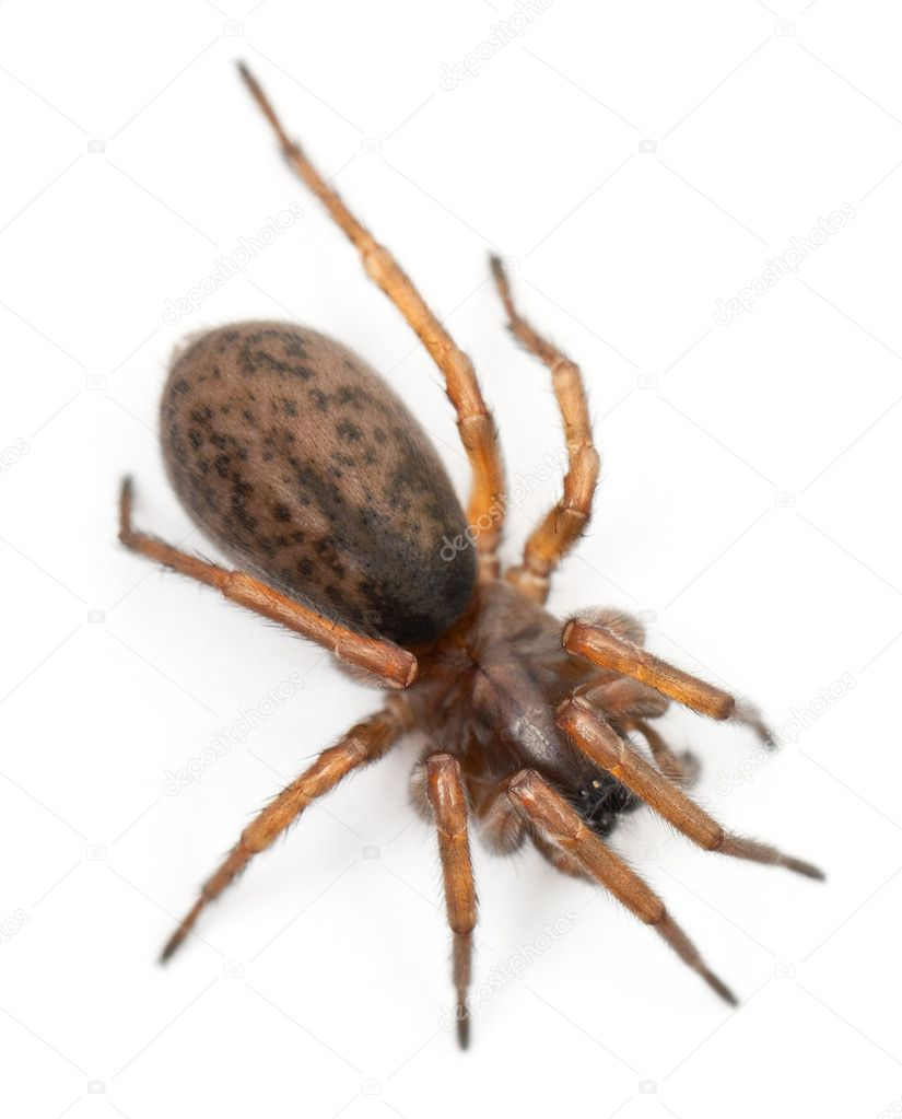 Tangled nest spider, Night spider or Hacklemesh weaver, Coelotes terrestris, in front of white background — Stock Photo #10905541