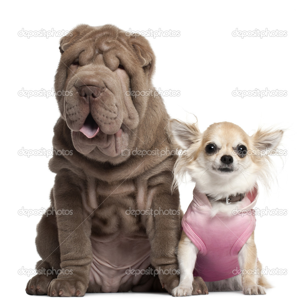 Chihuahua, 3 years old, and Shar Pei puppy, 3 months old, sitting in front of white background  Stock Photo #10905873