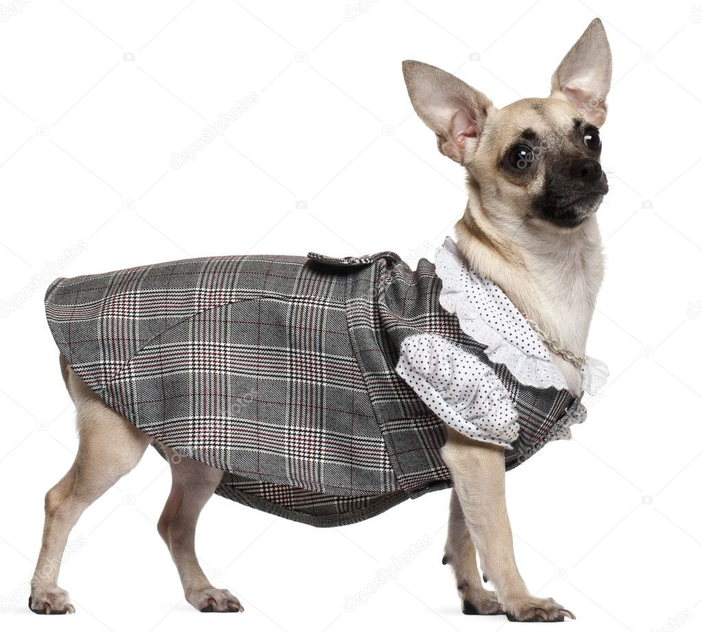 Chihuahua wearing plaid dress, 1 year old, standing in front of white background — Stock Photo #10905904