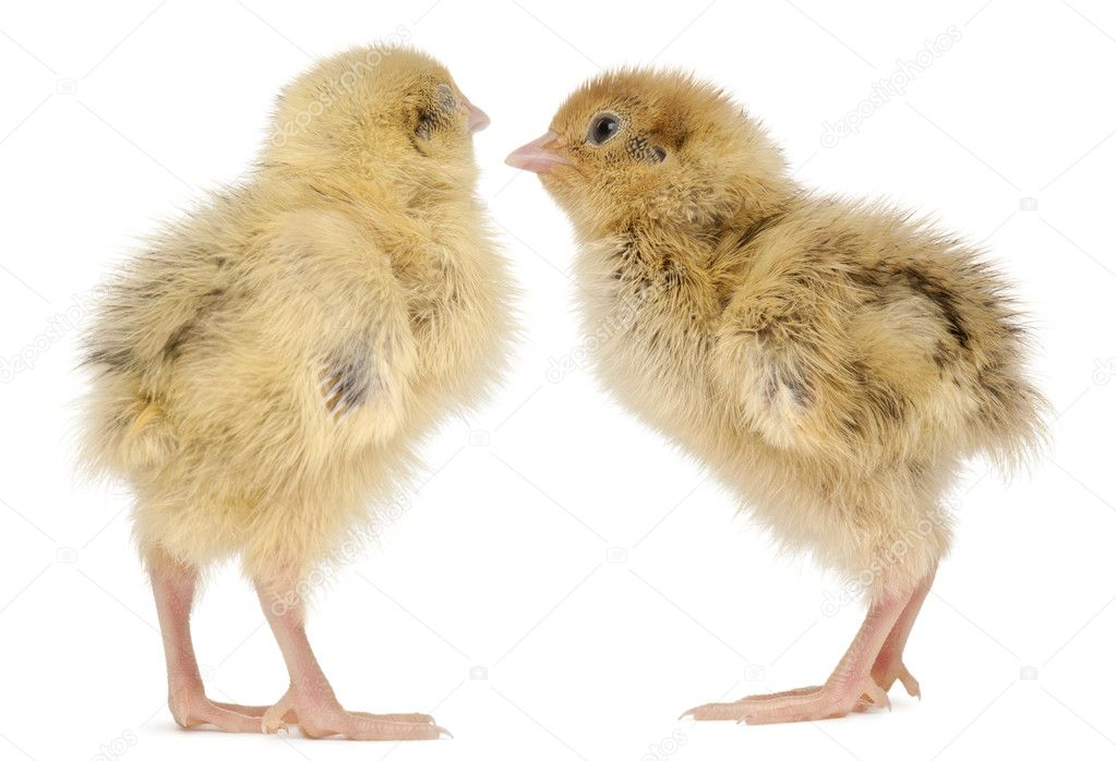 Two Japanese Quail, also known as Coturnix Quail, Coturnix japonica, 3 days old, in front of white background — Stock Photo #10905940