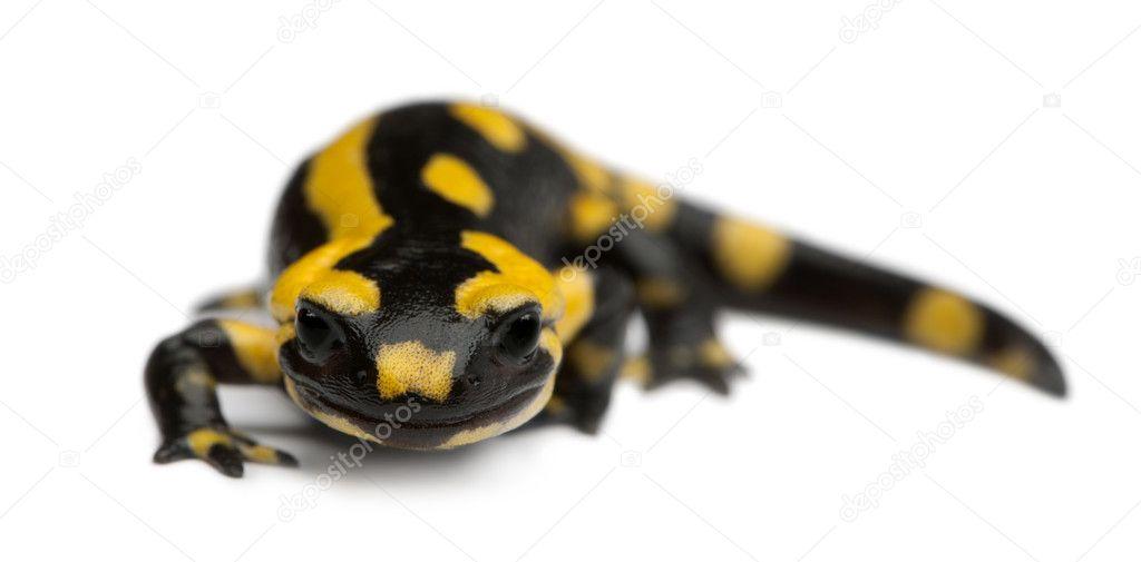 salamander white background - photo #26