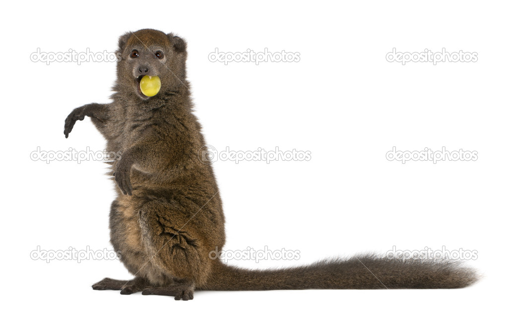 Lac Alaotra bamboo lemur, Hapalemur alaotrensis, 11 years old, holding food in mouth in front of white background eating — Stock Photo #10906398