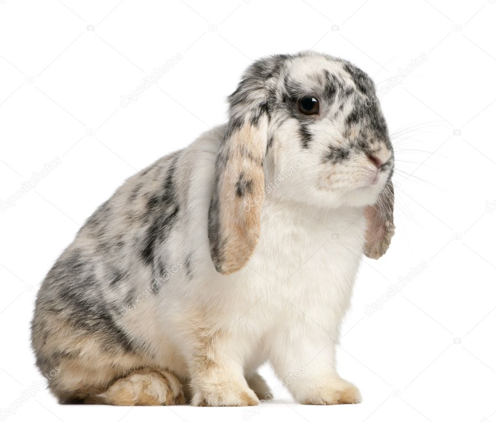Tri Color Spotted French Lop rabbit, 2 months old, Oryctolagus cuniculus, sitting in front of white background — Stock Photo #10906883