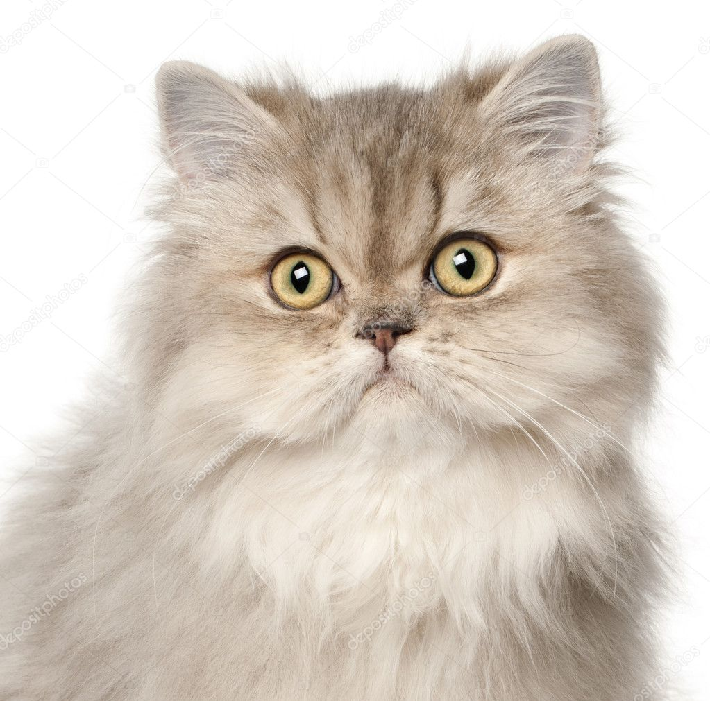 Persian cat, in front of white background — Stock Photo #10907046