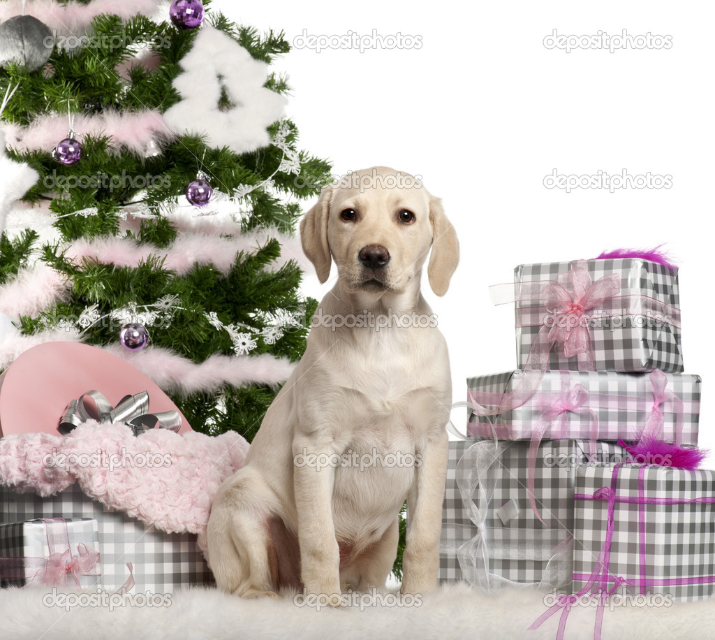 Labrador Retriever puppy, 3 months old, sitting with Christmas tree and gifts in front of white background — Stok fotoğraf #10907697