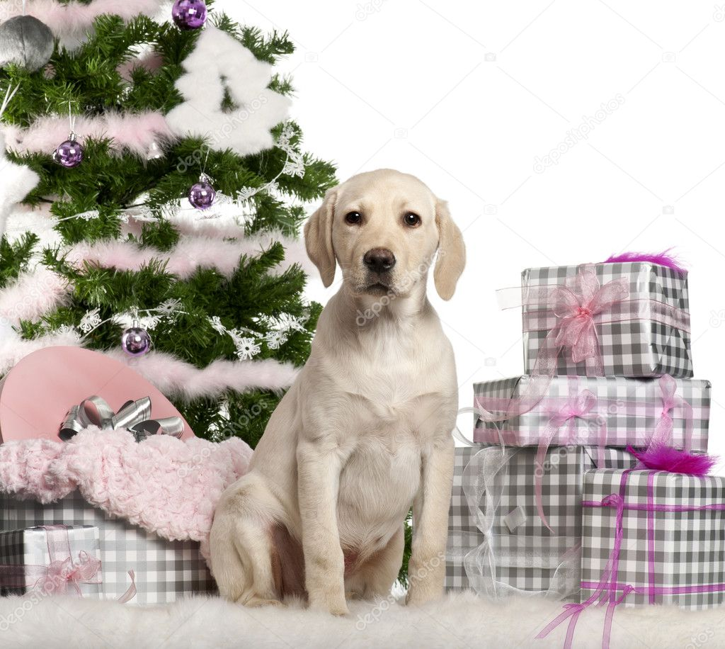 Labrador Retriever puppy, 3 months old, sitting with Christmas tree and gifts in front of white background — Photo #10907697