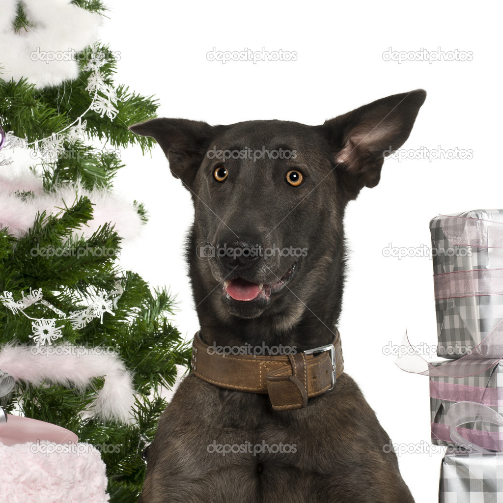 Close-up of Belgian Shepherd Dog, Malinois, 20 months old, with Christmas gifts in front of white background  Stock Photo #10907708