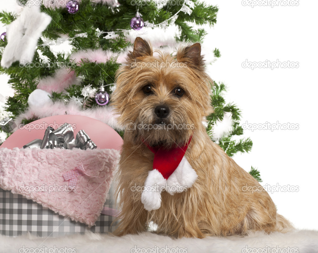 Cairn Terrier, 2 years old, sitting with Christmas tree and gifts in front of white background — Stock Photo #10907737