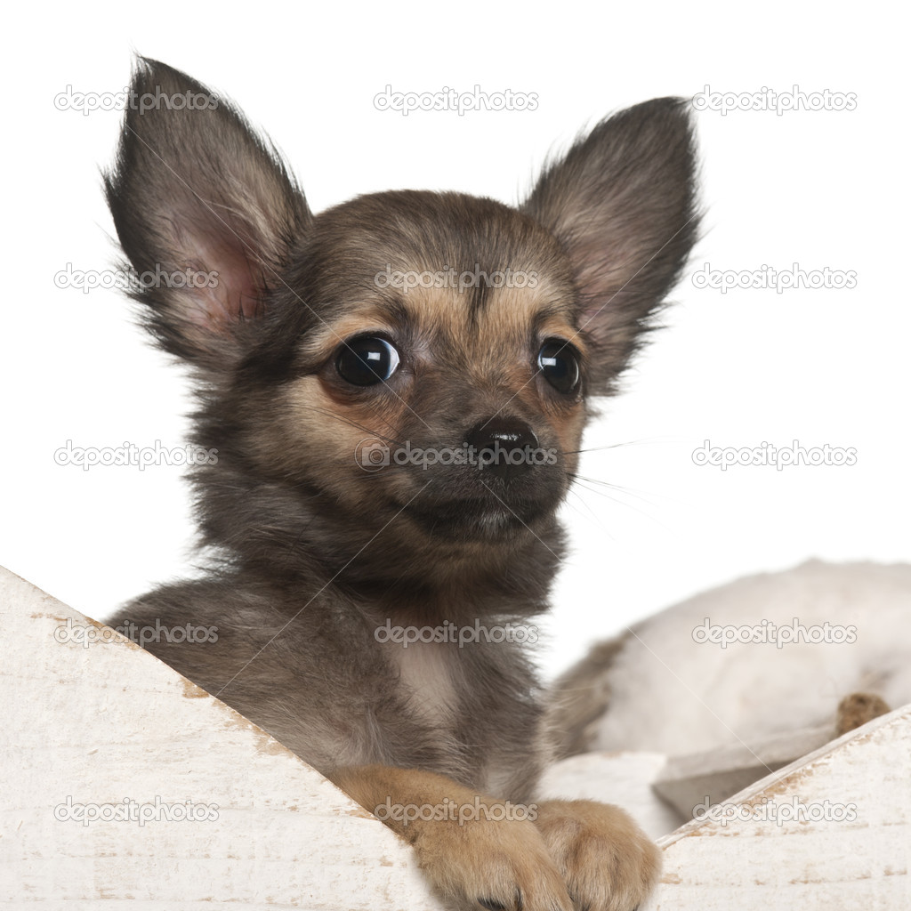Chihuahua puppy, 4 months old, in Christmas sleigh in front of white background — Stock Photo #10908012