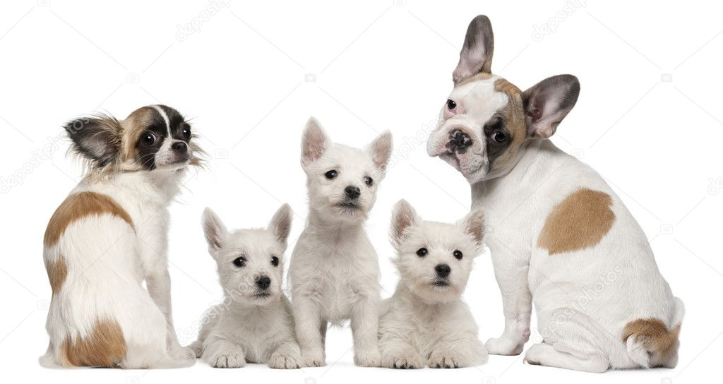 Group of dogs in front of white background — Stock Photo #10908132