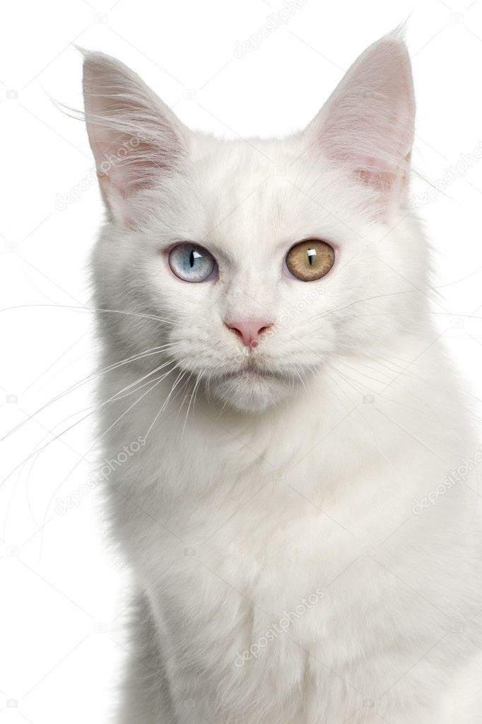 Portrait of Maine Coon cat, 5 months old, in front of white background — Stock Photo #10908189