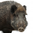 Wild boar, also wild pig, Sus scrofa, 15 years old, portrait standing against white background — Stock Photo #11717389