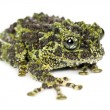 Stock Photo: Mossy Frog, Thelodermcorticale