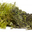 Mossy Frog - Stock Photo