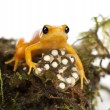 Golden Mantella protecting her eggs - Photo