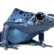 Blue and Black Poison Dart Frog — Stock Photo