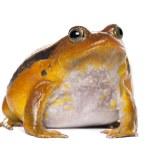 False Tomato Frog, Dyscophus guineti, portrait against white background — Stock Photo