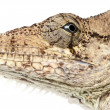 Oriente Bearded Anole or Anolis porcus, Chamaeleolis porcus, Polychrus is a genus of lizards, commonly called bush anoles, close up against white background - Stock Photo