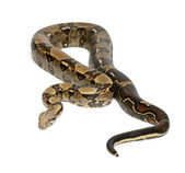 Common Northern Boa, Boa constrictor imperator, imperator is the color, against white background — Stock Photo