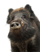 Wild boar, also wild pig, Sus scrofa, 15 years old, portrait standing against white background — Stock Photo