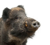 Wild boar, also wild pig, Sus scrofa, 15 years old, close up portrait against white background — Stock fotografie
