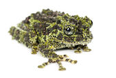 Mossy Frog, Theloderma corticale — Stock Photo