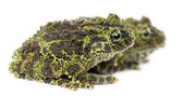 Mossy Frog — Stock Photo