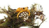 Golden Mantella protecting her eggs — Stock Photo