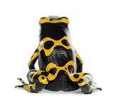 Rear view of a Yellow-Banded Poison Dart Frog, also known as a Yellow-Headed Poison Dart Frog and Bumblebee Poison Frog, Dendrobates leucomelas, against white background — Stock Photo