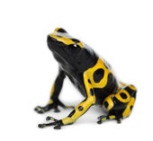 Vista trasera de la rana dardo venenoso con bandas amarillas, también conocido como una rana dardo venenoso cabeza amarilla y abejorro veneno rana, dendrobates leucomelas, sobre fondo blanco — Foto de Stock