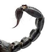 Cesarz skorpion — Zdjęcie stockowe