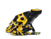 Yellow-Banded Poison Dart Frog, also known as a Yellow-Headed Poison Dart Frog and Bumblebee Poison Frog, Dendrobates leucomelas — Stock Photo