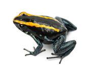 Golfodulcean zehirli kurbağa, beyaz arka plan phyllobates vittatus — Stok fotoğraf