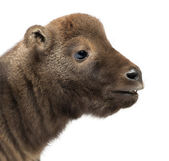Mishmi Takin, Budorcas taxicolor taxicol, also called Cattle Chamois or Gnu Goat, 10 days old, against white background — Stock Photo