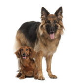Dachshund, 9 years old, German Shepherd Dog, 3 years old, sitting against white background — Stock Photo