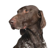 German Shorthaired Pointer, 4 years old, against white background — Stock Photo