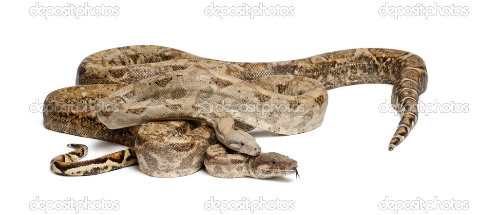 Two Common Northern Boas, Boa constrictor imperator, from Hog Island, Honduras, Central America, against white background — Stock Photo #11717241
