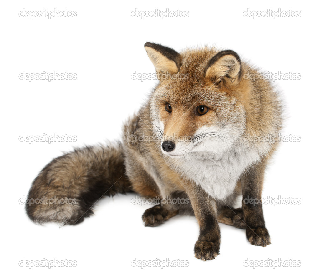 Old Red fox, Vulpes vulpes, 15 years old, sitting against white background — Stock Photo #11717319