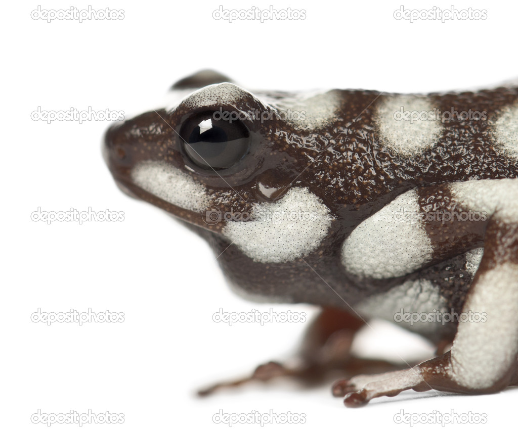 Maranon Poison Frog or Rana Venenosa, Ranitomeya mysteriosus, against white background — Stock Photo #11717613