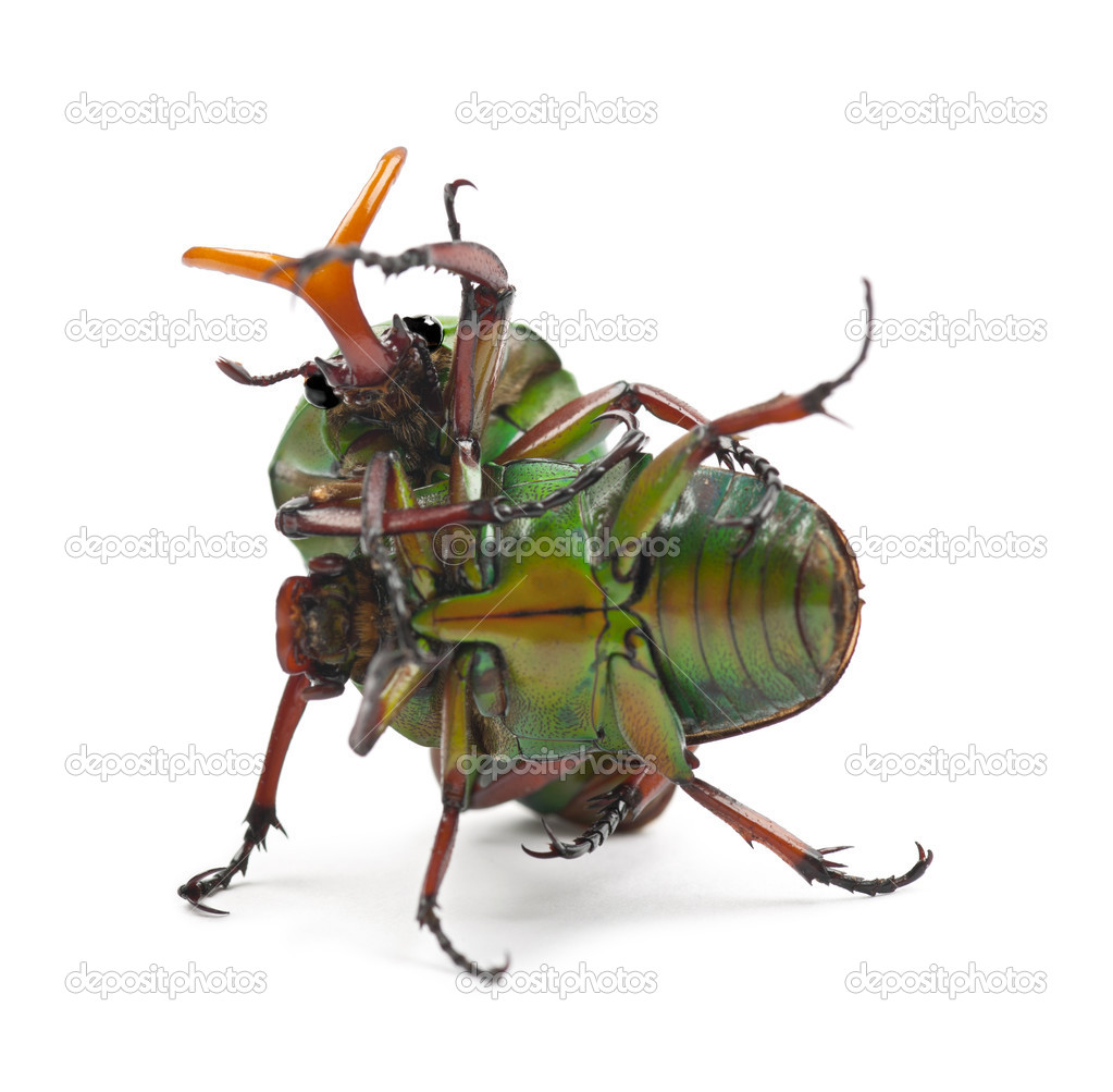 Fighting Flamboyant Flower Beetles or Striped Love Beetle, Eudicella gralli hubini, against white background — Stock Photo #11717846