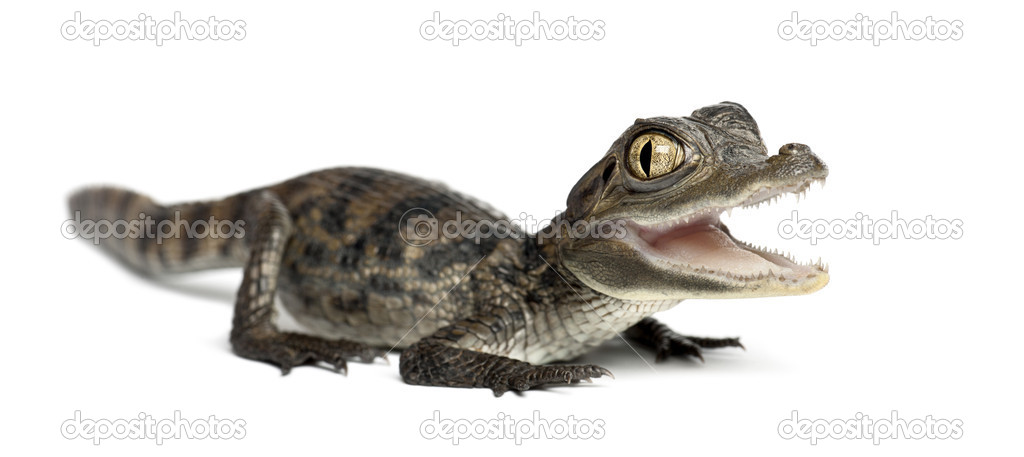 Spectacled Caiman, Caiman crocodilus, also known as a the White Caiman or Common Caiman, 2 months old, portrait against white background — Stock Photo #11718211