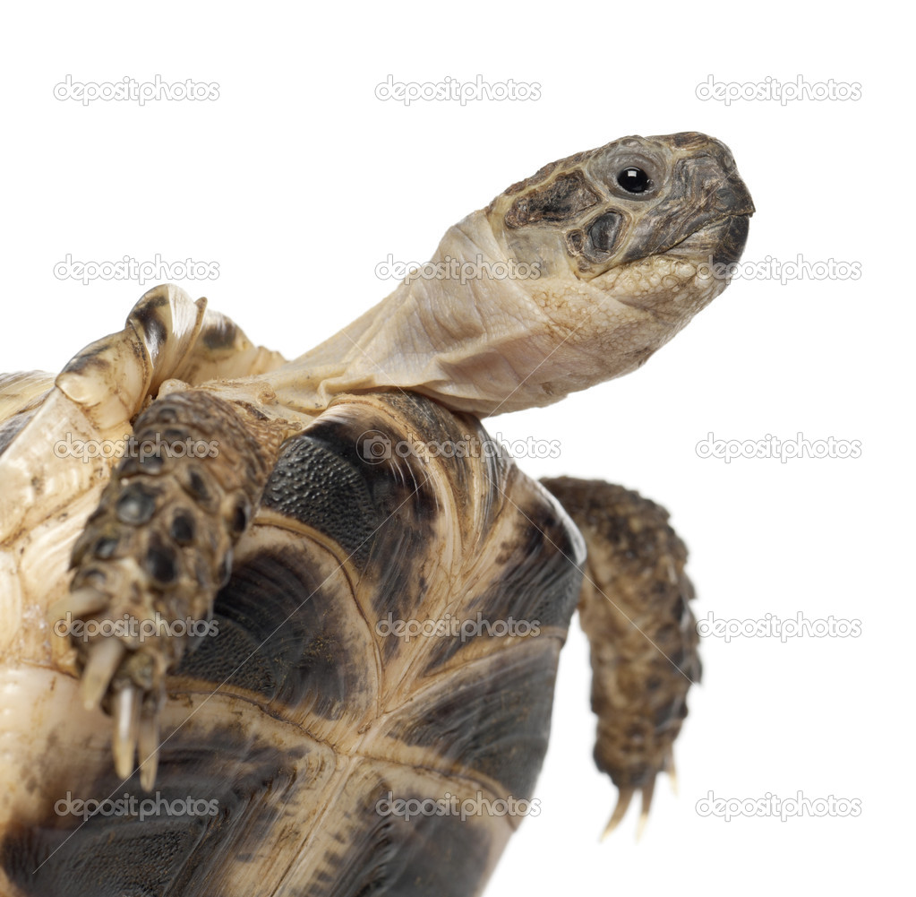 Young Russian tortoise, Horsfield's tortoise or Central Asian tortoise, Agrionemys horsfieldii, close up against white background  Stock Photo #11718232
