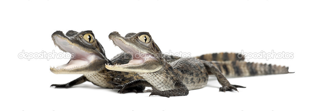 Spectacled Caimans, Caiman crocodilus, also known as a the White Caiman or Common Caiman, 2 months old, portrait against white background — Stock Photo #11718235