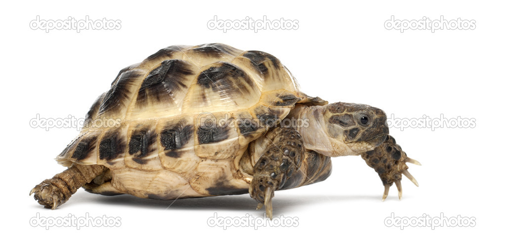Young Russian tortoise, Horsfield's tortoise or Central Asian tortoise, Agrionemys horsfieldii, against white background  Stock Photo #11718239