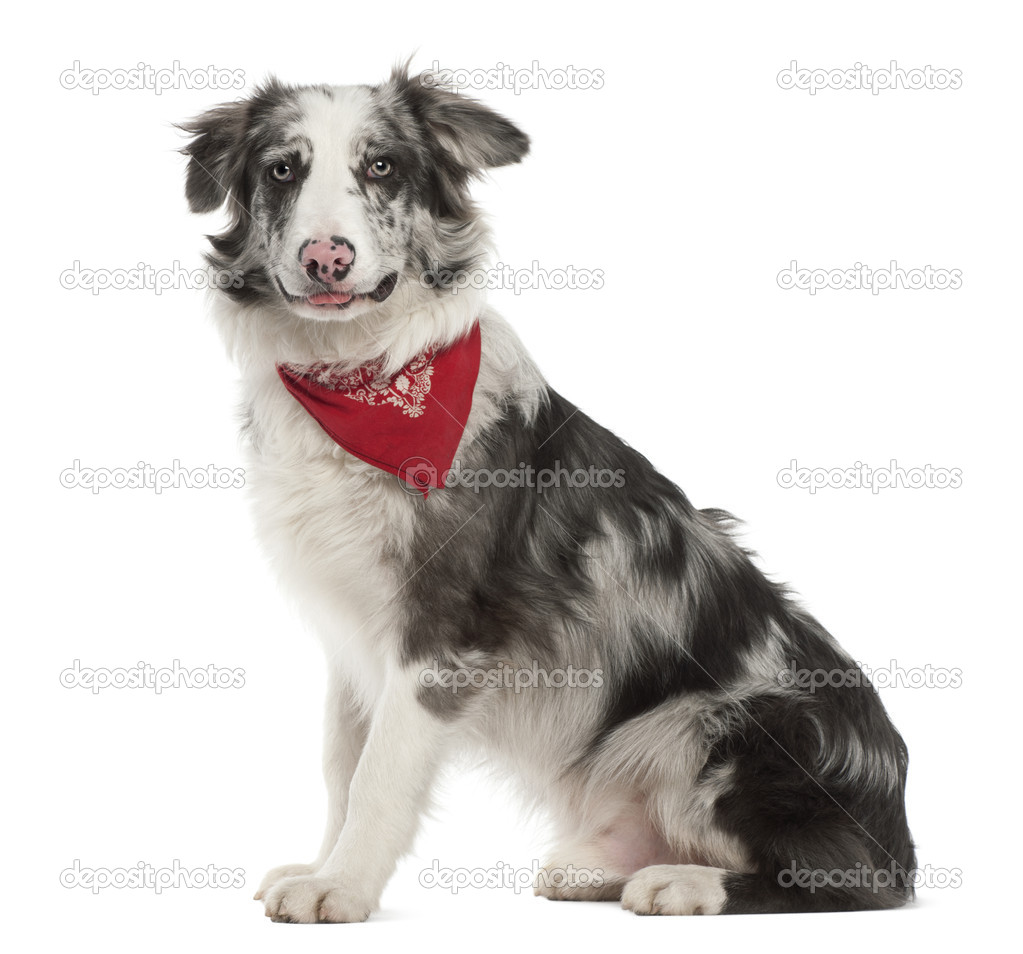 Border Collie, 7 months old, sitting against white background — Stock Photo #11718890