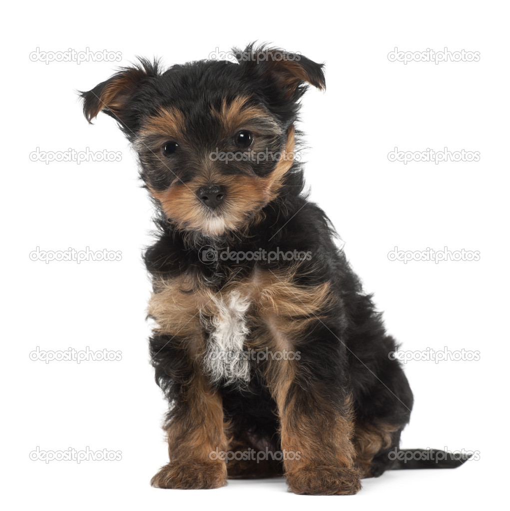 Depositphotos  Yorkshire  Terrier Puppy  Weeks Old Sitting Against White Background
