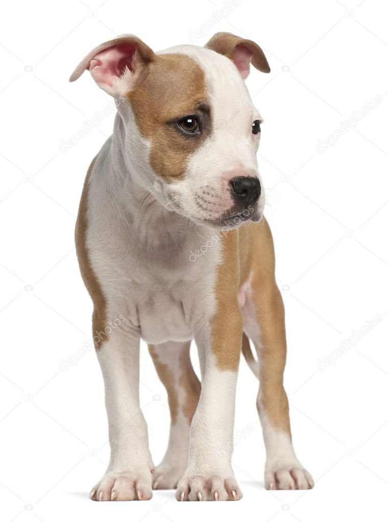 American Staffordshire Terrier puppy, 2 months old, standing against white background  Stock Photo #11718951
