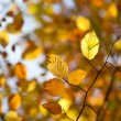 Royalty-Free Stock Photo: Autumn beech branch