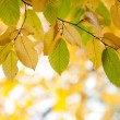 Autumn leaves on a tree — Stock Photo